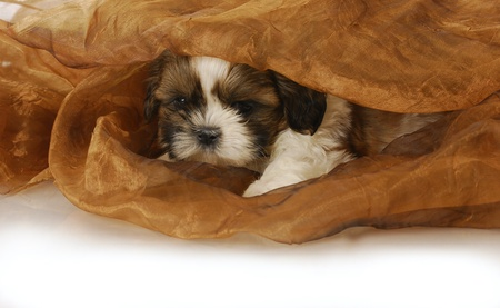 shih: adorable shih tzu puppy peeking out under blanket - 6 weeks old Stock Photo