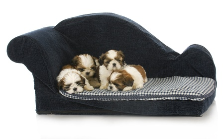 litter of puppies - shih tzu puppy laying on blue dog couch photo