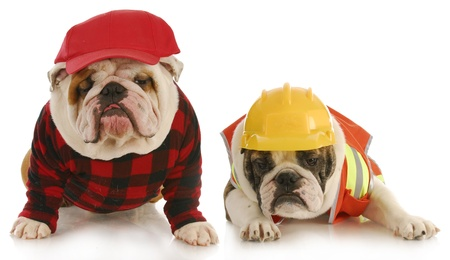 white work: working dogs - two english bulldogs dressed up for work on white background