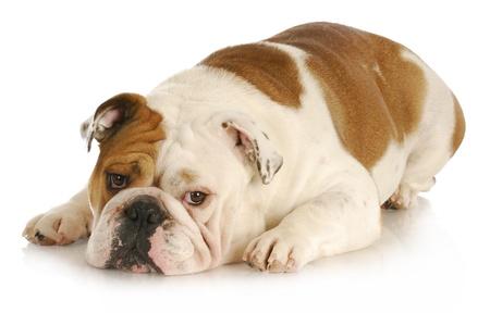 naar beneden kijken: triest hond - Engels bulldog vaststelling met droevige uitdrukking op witte achtergrond Stockfoto