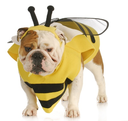 english bulldog wearing bumble bee costume on white background photo