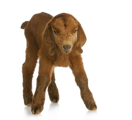 boer: Cabra del beb� - cuatro d�a antiguo ni�o de B�er de Sud�frica sobre fondo blanco