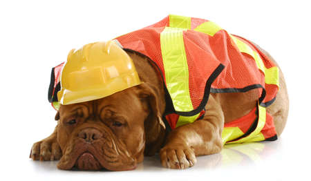 sad dog: working dog - dogue de bordeaux dressed up like a construction worker Stock Photo