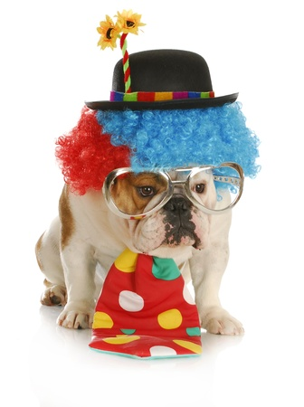 dog costume: clown - english bulldog wearing clown costume with glasses on white background