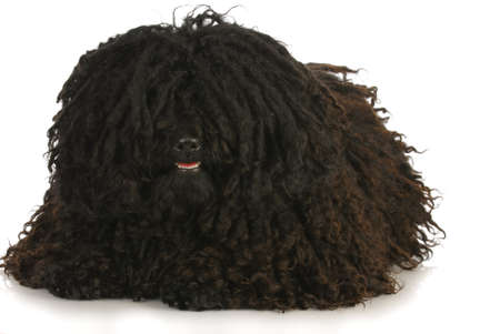 corded: corded puli laying down on white background