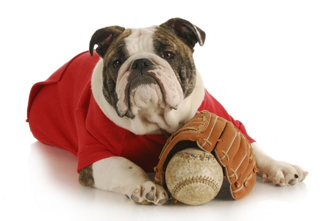 pet exercise - bulldoy laying down with baseball and glove on white background photo