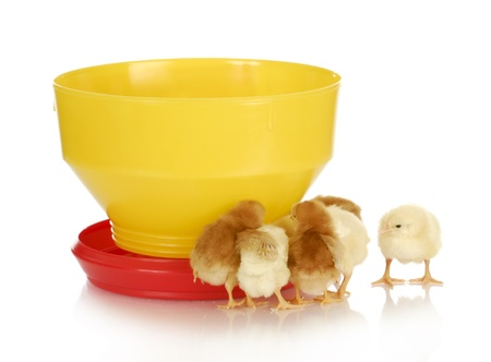 feeding chickens - young chicks standing around feeder on white background photo