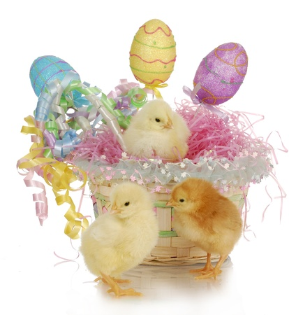 adorable chicks in colorful easter basket with reflection on white background photo