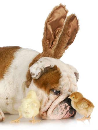 ostern lustig: Bulldog Bunny mit zwei junge K�ken auf wei�em Hintergrund