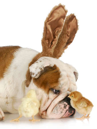 bulldog bunny with two young chicks on white background photo