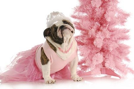 english girl: spoiled dog - english bulldog dressed like a princess in pink with tiara on white background