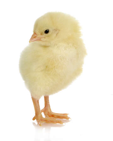 adorable baby chick - one day old on white background photo