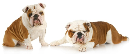 surly: dog fight - two english bulldogs with funny expressions on white background