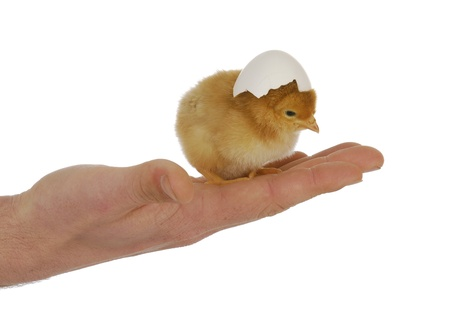 newborn chick - hand holding cute chick with egg shell on head photo