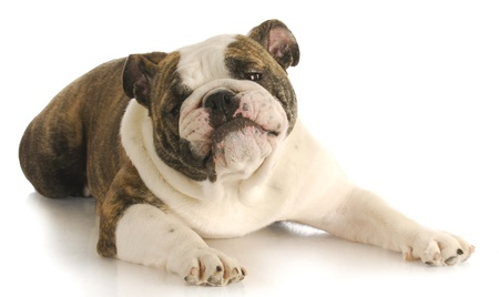 brown and black dog face: funny dog - english bulldog with silly expression laying down on white background