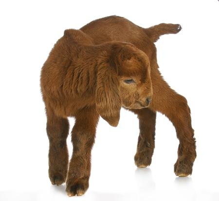 boer: pie de cabra o ni�o con reflexi�n sobre fondo blanco - Sud�frica kalahari B�er pedigr� para beb�s