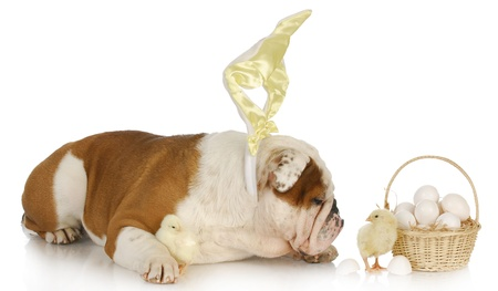 easter dog - english bulldog bunny with chicks and basket on white background photo