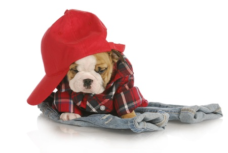huge: adorable english bulldog puppy wearing plaid shirt and red hat sitting on denim jeans