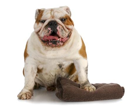 groomer: dirty dog ready for a bath - english bulldog