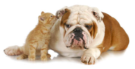 sniff: cat and dog - cute kitten whispering into english bulldogs ear on white background