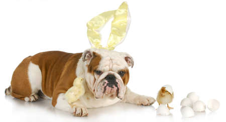 easter dog - english bulldog bunny with two chicks on white background photo