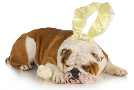 easter dog - english bulldog bunny with chicks on white background photo