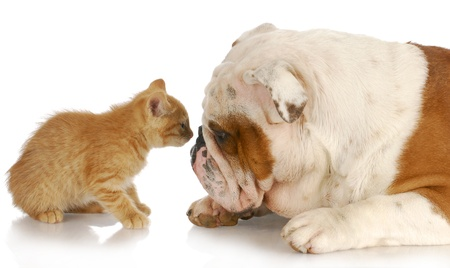 sniff dog: kitten and english bulldog nose to nose with reflection on white background Stock Photo