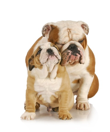 laying: father and son dogs - two english bulldogs sitting on white background