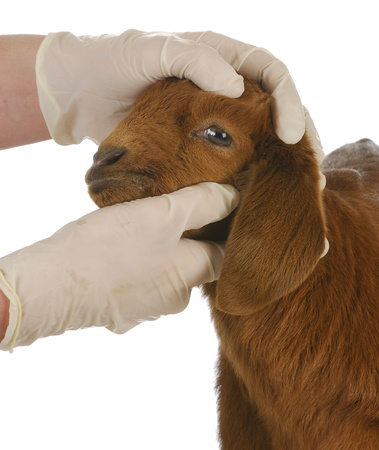 vets: veterinary care - veterinarian examining young goat on white background
