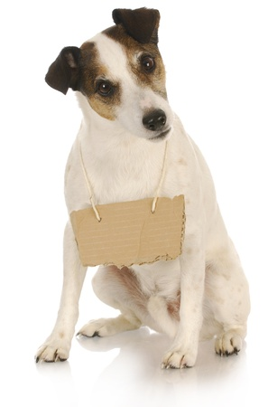 lost love: dog with a message - jack russell terrier with a blank sign around his neck