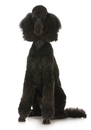 conformation: black standard poodle sitting on white background