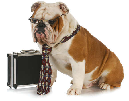 dog grooming: business dog - english bulldog male wearing tie and glasses sitting beside briefcase Stock Photo