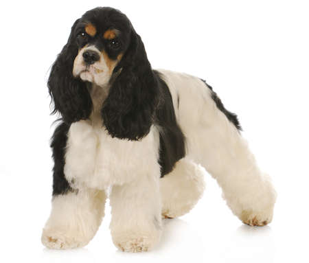 groomer: adorable tri-color cocker spaniel standing on white background - 2 years old