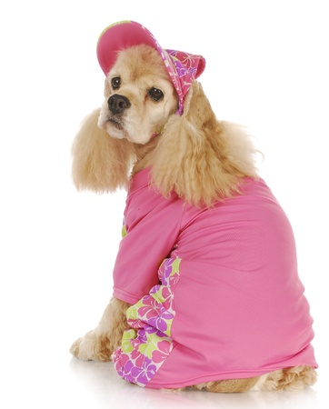 american cocker spaniel: female dog - cute cocker spaniel wearing pink hat and shirt - 9 years old
