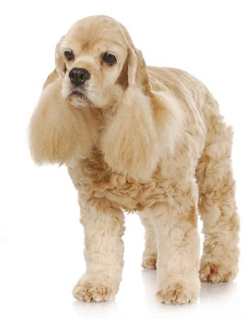 senior dog - cute cocker spaniel head portrait on white background - 9 years old photo