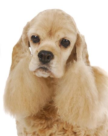 senior dog - cute cocker spaniel head portrait on white background photo