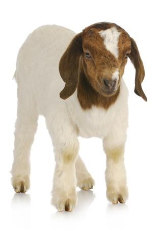 boer: Cabra del beb� - boer sudafricana pura raza cabrito permanente - un semana antiguo