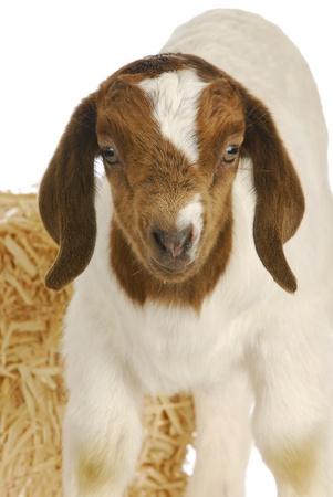 boer: Cabra del beb� - ni�o B�er sudafricano - un semana antiguo