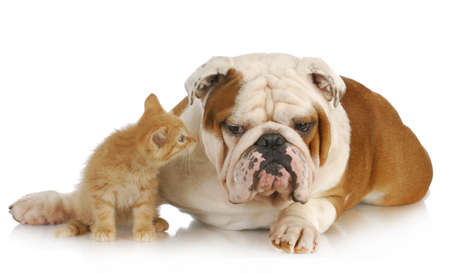 sniff dog: dog and cat - english bulldog and young kitten together on white background