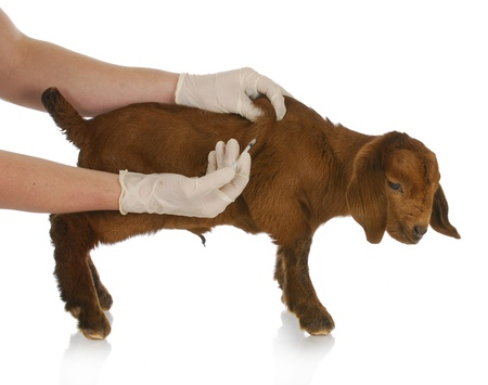 boer: farm veterinary care - south african goat kid getting vaccinated on white background Stock Photo