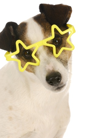 funny glasses: famous dog - jack russel terrier wearing yellow star shaped glasses on white background Stock Photo