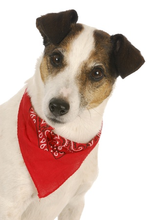 dog wearing red bandanna - jack russel terrier on white background photo