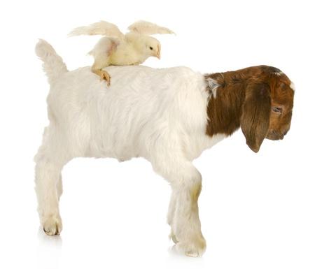 boer: pollito de beb� sentado en la parte posterior de una cabra de beb� Foto de archivo
