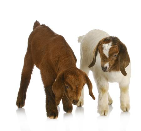 boer: gemelos de cabra - dos gemelos de cabra B�er sudafricano sobre fondo blanco
