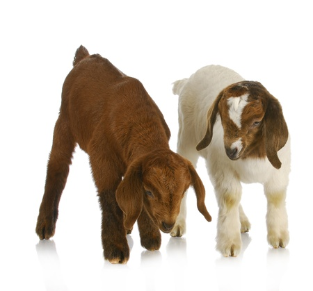boer: goat twins - two south african boer goat twins on white background