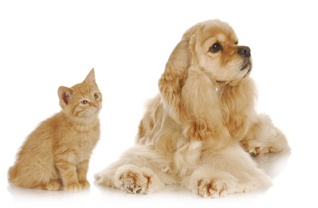american cocker spaniel: dog and cat - american cocker spaniel and young kitten together on white background Stock Photo