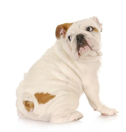 frightened dog: cachorros asustados - bulldog ingl�s con expresi�n asustada mirar por encima del hombro Foto de archivo