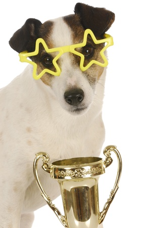 show dog: champion dog - jack russel terrier wearing star glasses with trophy
