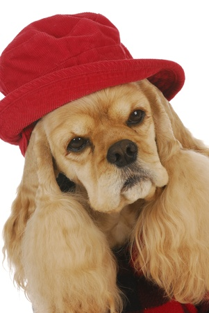adorable cocker spaniel wearing red hat and plaid coat on white background Stock Photo - 9623046