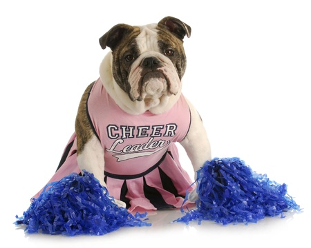 like english: cheerful dog - english bulldog dressed up like a cheerleader with pompoms